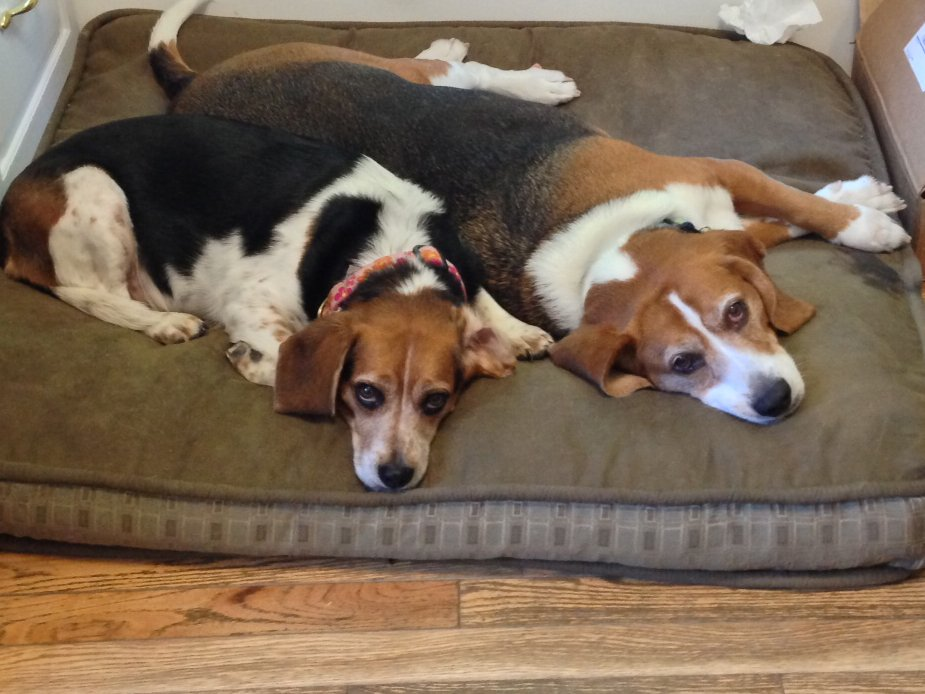 Marshall and Magnolia, the two beagles at the Phineas Swann Bed and Breakfast near Jay Peak Vermont